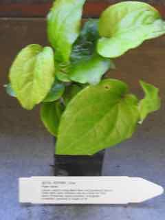 Betel Pepper plant