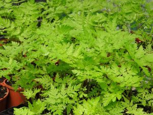 Sweet Cicely plant