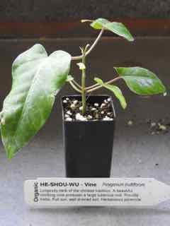 He Shou Wu plant