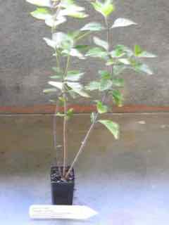 Java Tea plant
