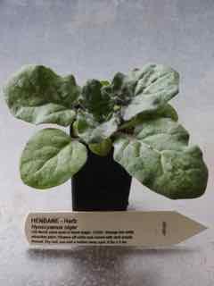 Henbane plant