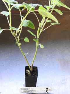 Pot Pouri Sage plant