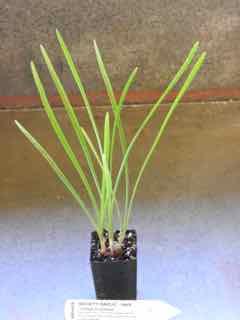 Society Garlic plant