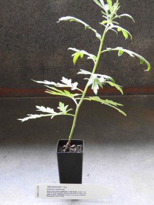 Tree Mugwort plant