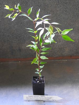 Riberry plant