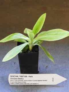 Tibetan Gentian plant