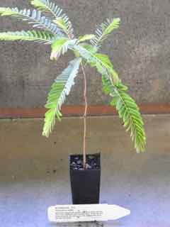 Myrobalan plant
