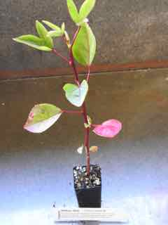 Rosella plant