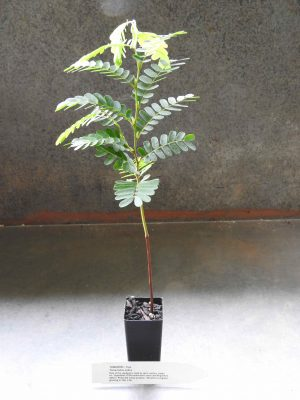 Tamarind plant