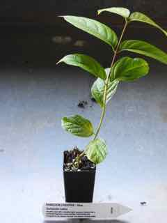 Rangoon Creeper plant