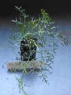 Asafetida plant