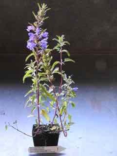 Moldavian Balm plant