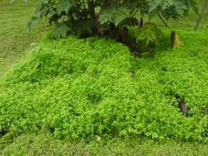 Chicweed.garden