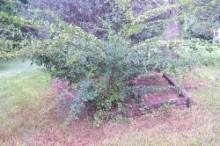 GinsengSiberian.plant