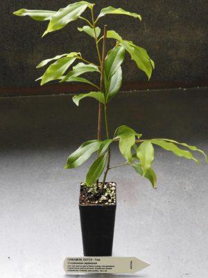 Dutch Cinnamon plant