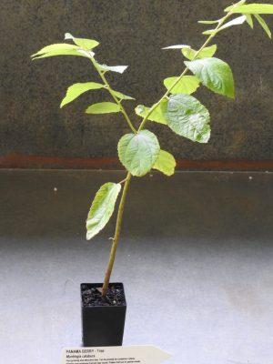Panama Berry plant